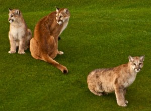 DSC_9491_mountain_lion_family_crop-1