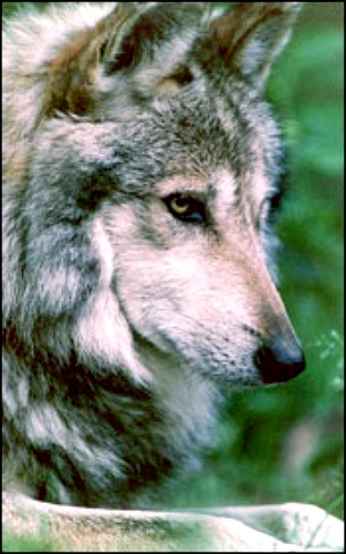 Gray wolf. Courtesy U.S. Fish & Wildlife Service.