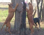 Plott%20Pups%20Treed%201%20-%2011A%20Feb%202006