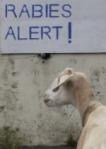 Rabies-Goat1