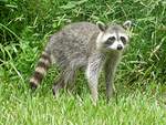 raccoon454 - Copy