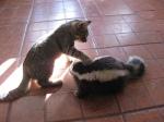 skunk-cat