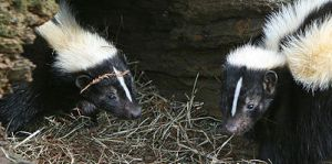 800px-Striped_Skunkby_www.birdphotos.comWC-2