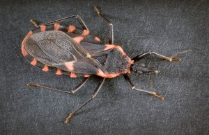 Chagas disease is caused by the parasite Trypanosoma cruzi, which is transmitted to animals and people by insect vectors that are found only in the Americas (mainly, in rural areas of Latin America where poverty is widespread). The insect vectors are called triatomine bugs (also called kissing bugs or conenose bugs). Chagas disease is also referred to as American trypanosomiasis.AZ Dept of Health Services.