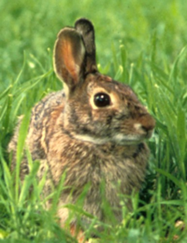 Eastern Cottontail Rabbit. Courtesy U.S. Fish & Wildlife Service.