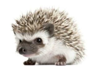 Hedgehog. Courtesy CDC.