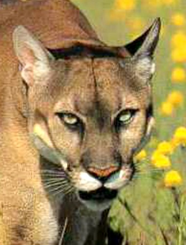 Stalking mountain lion. Photo by County of Santa Barbara, California.