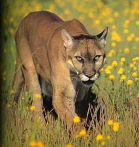 Puma_CountyOfSantaBarbara_California