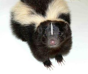 Skunk%20nose
