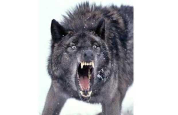 Biggest Wolves