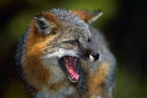 5704860-portrait-of-gray-fox-barking