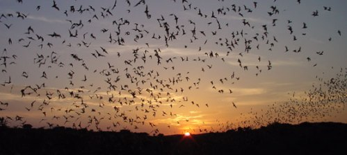 Bat colony. Courtesy National Park Service.