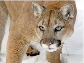 cougar-mountain-lion