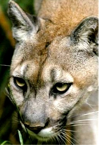 Mountain lion. Courtesy U.S. Department of Agriculture.