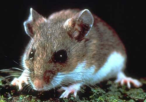 Deer mouse. Courtesy U.S. Department of Agriculture.