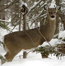 DeerWinter2_Michigan.gov