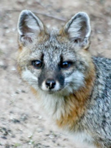 Gray fox. Photo by New York Department of Environmental Conservation.