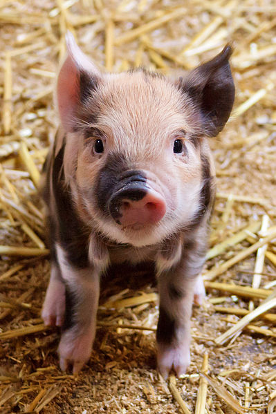 Piglet. Wikimedia Commons. PD.