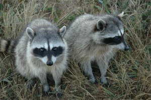 roadtrip-raccoons