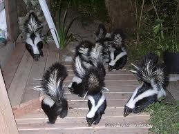 surfeit of skunks