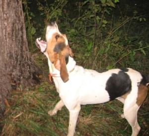 TreeingWalkerCoonhoundTreeingCoon