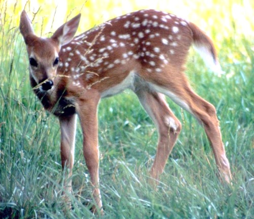 White-tailed deer fawn. Courtesy National Park Service.