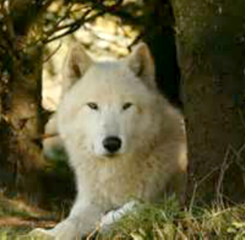 One of six white wolves at the White Wolf Sanctuary near Tidewater, OR. Photo by Oregon Dept. of Transportation.
