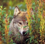 Wolf_in_the_fireweed_gallery