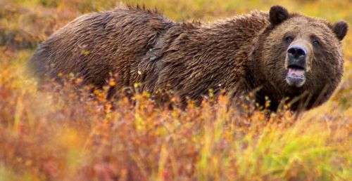 Grizzly. Photo by Jean-Pierre Lavoie. Wikimedia Commons.