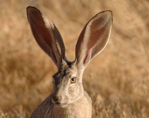 Black tailed jack rabbit. Courtesy U.S. Fish & Wildlife Service.
