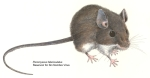 Deer mouse. Common carrier of Hantavirus.