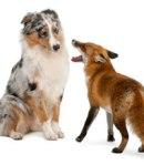 dog-fox