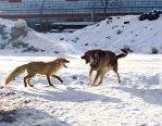 dog-fox_1811535i