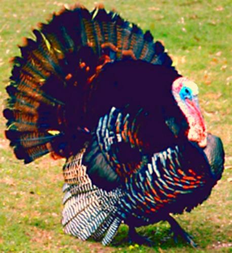 Eastern Wild Turkey. Photo courtesy U.S. Army.