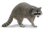 raccoon_lg