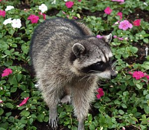 Columbia County: Health officials have confirmed that a raccoon is Rabid