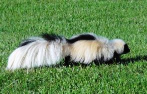 skunk-dec-NY