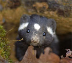 spottedskunk_USFWS