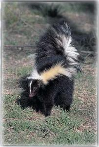 striped_skunk_Dwpt-KS