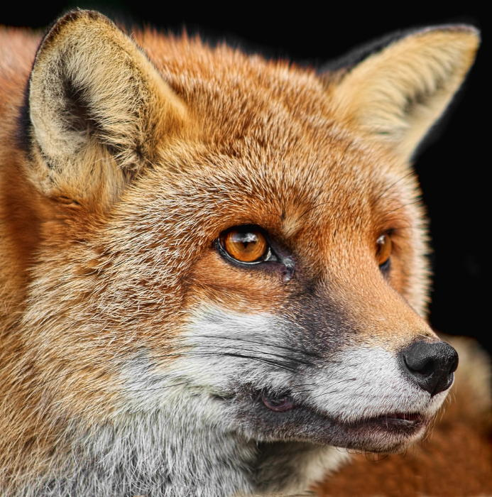 Good Samaritan in FLORIDA helps with injured FOX and may have exposed ...