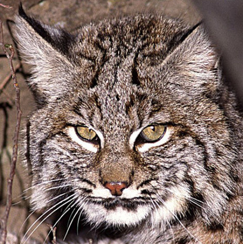 Bobcat. Photo by Terry Spivey of USDA Forest Service.