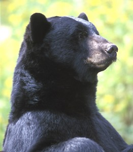 Black bear. Photo by Ohio Department of Natural Resources