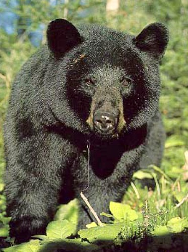 Black bear. Courtesy U.S. Forest Service.