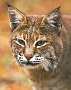 Bobcat. Photo by Maryland Department of Natural Resources.
