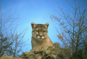 cougar01dfg.CA.gov
