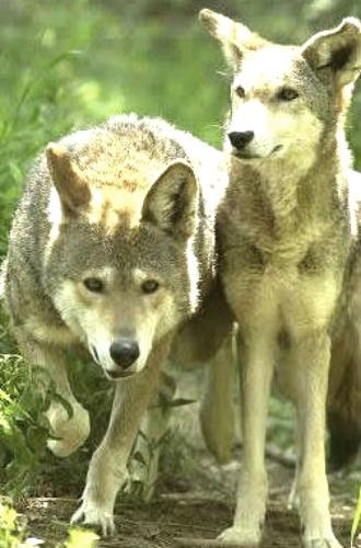 Coyotes. Courtesy National Park Service.