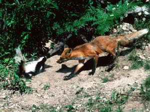 Fair-Warning---Red-Fox-and-Skunk-1