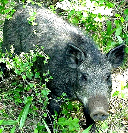 Feral hog. Photo by University of Missouri Ext.