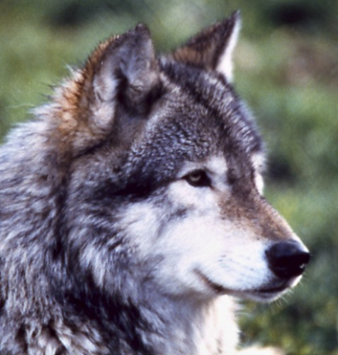 Gray wolf. Courtesy National Park Service.