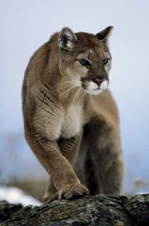 Mountain lion. Courtesy of U.S. Geological Survey.